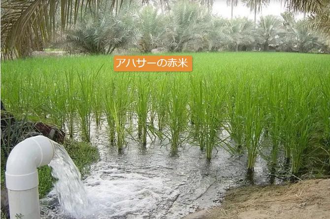 稲穂をつける前のアハサーの赤米の水田